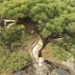 bonsai-6